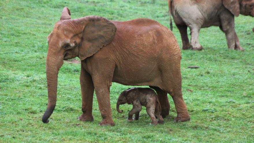 Nace en Cabárceno una nueva cría de elefante africano