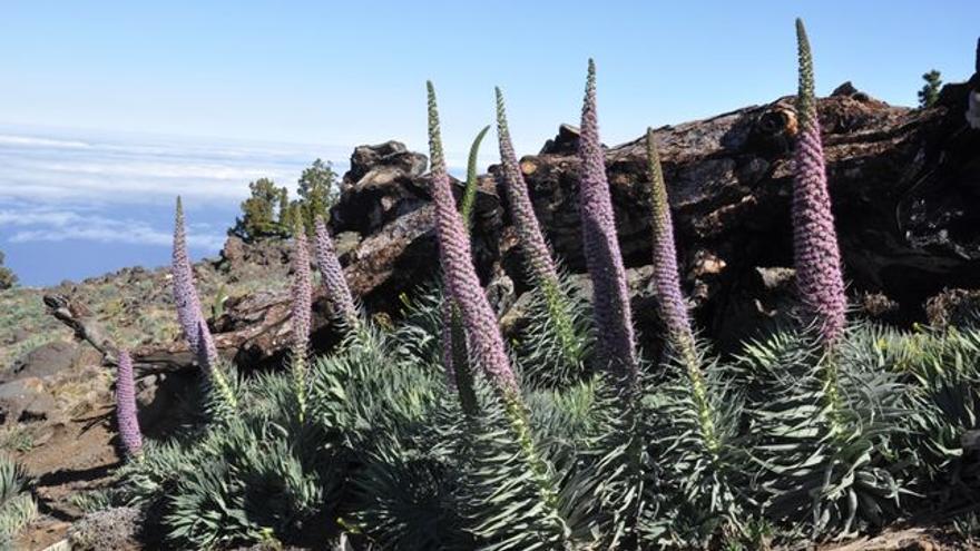 Tajinastes en las cumbres de La Palma.