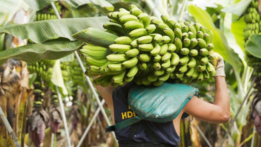 Un agricultor con una piña de plátanos  de Canarias