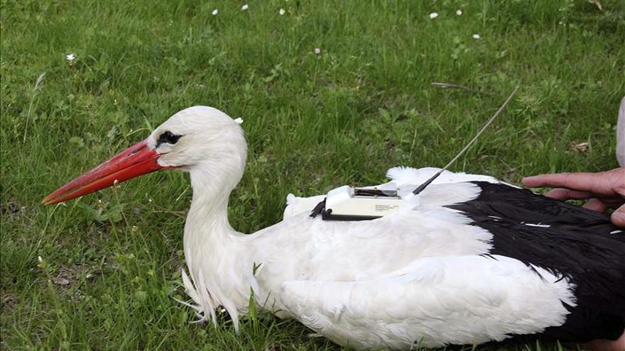 Cada vez más cigüeñas blancas pasan el invierno en la península ibérica