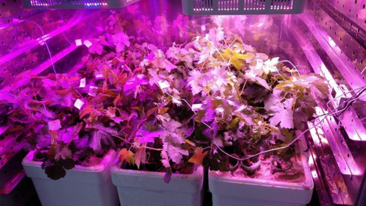Ejemplo de experimento de tolerancia al calor llevado a cabo para tres variedades de uva.
