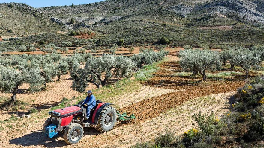 Imagen de algunos de los olivos que forman parte del proyecto. / Apadrina un Olivo