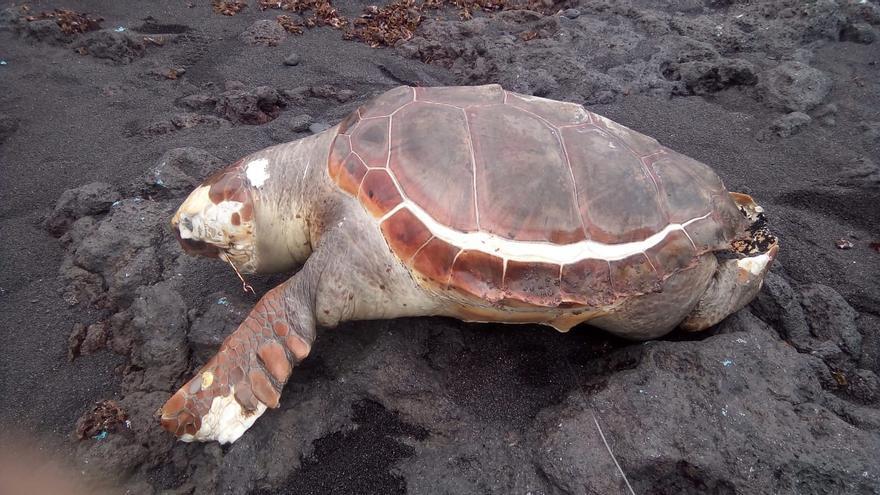 El ejemplar de tortuga hallado muerto en La Cabras.