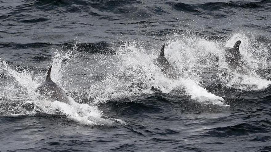 La mortandad de delfines tucuxi pone en riesgo la especie ya amenazada en Brasil