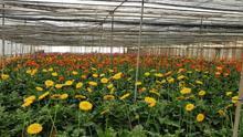 Flores en un cultivo de Jose Antonio Estévez, en Gran Canaria