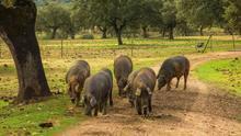 Nuevo paquete de ayudas por valor de 25 millones de euros para los sectores del cerdo ibérico y la flor cortada