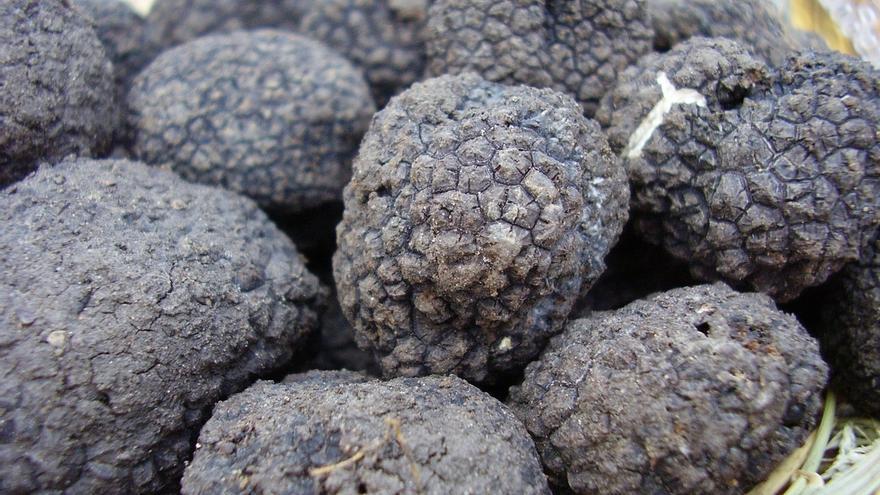 NEIKER propone extender el cultivo de trufa negra a zonas del País Vasco pobladas con robles