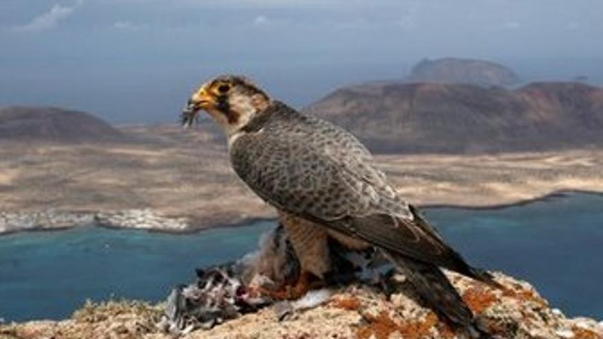 Halcón de Berbería.