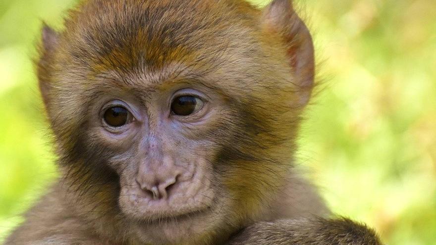 Los nuevos estudios sugieren una inmunidad protectora natural contra la COVID-19 en macacos