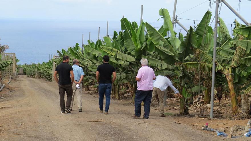 Cultivos de plataneras. (Canarias Ahora).