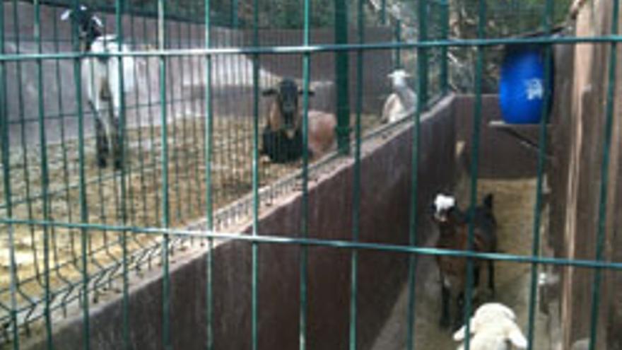 Las cabras que guarda Miguel Ángel Ramírez en La Milagrosa.