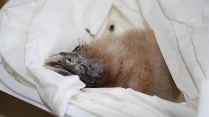 Nace en cautividad el primer pollo de guirre en Fuerteventura.
