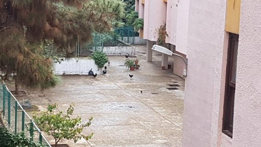Gallos y gallinas en la urbanización Benahoare.
