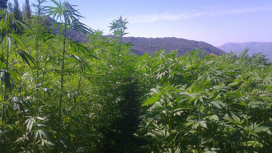 Una plantación de cáñamo en Bubión (Granada)