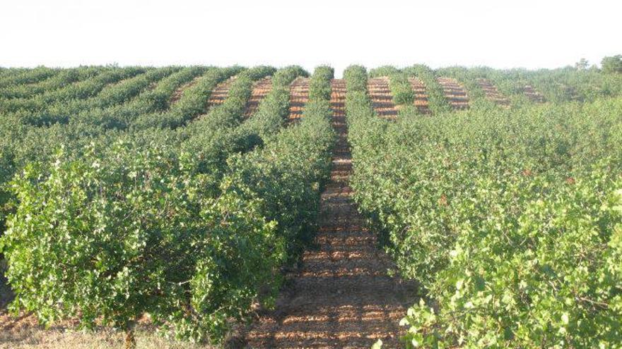 Cultivo de pistacho biodinámico en la provincia de Albacete  (Villamalea)