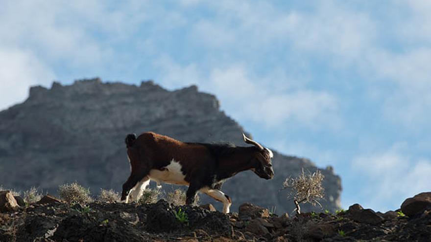 Un ensayo abre vías para recuperar especies vegetales endémicas del macizo de Jandía