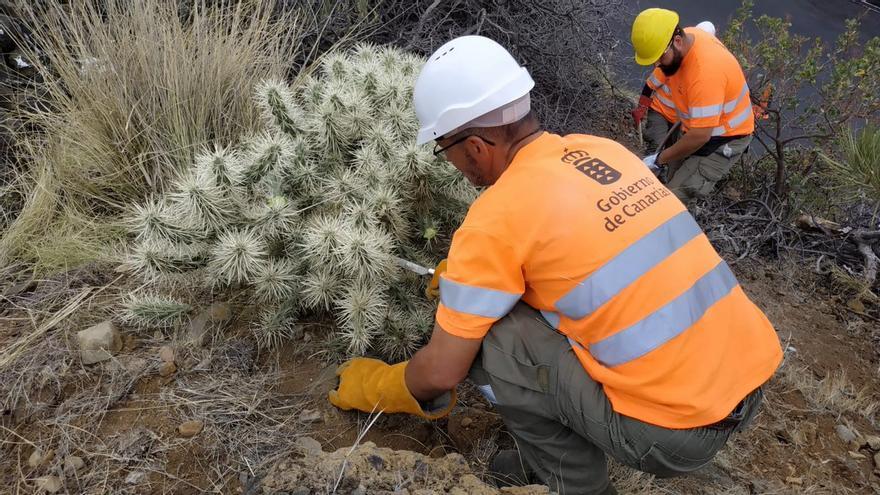 """Un momento de las tareas de extracción y eliminación del cactus  'Cylindropuntia pallida'  """"altamente invasor"""" como el localizado en el municipio de Los Llanos de Aridane."""