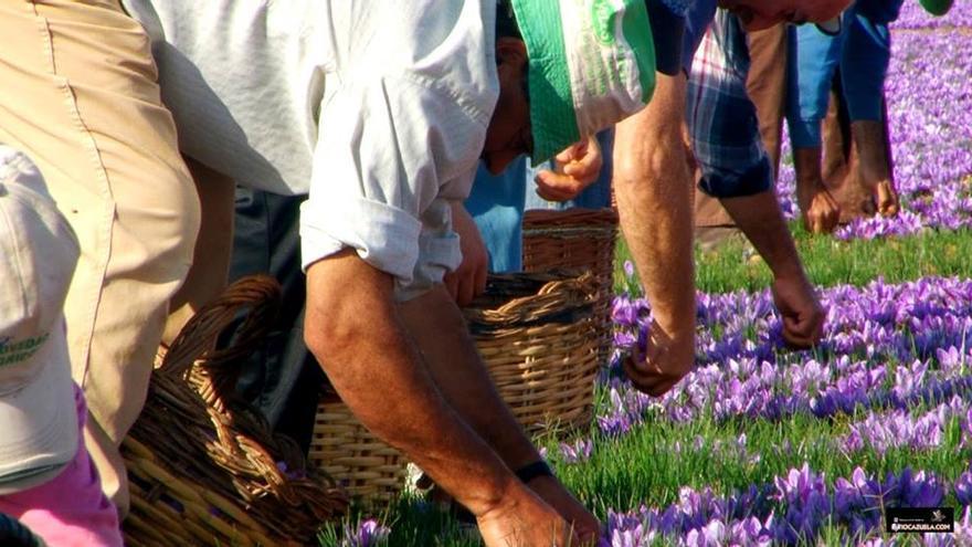 Recogiendo flores de azafrán
