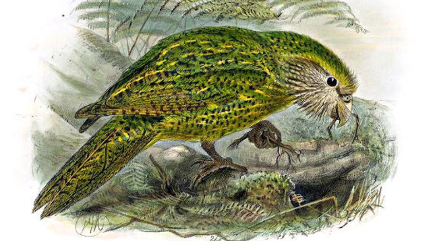 Ilustración de un Kakapo