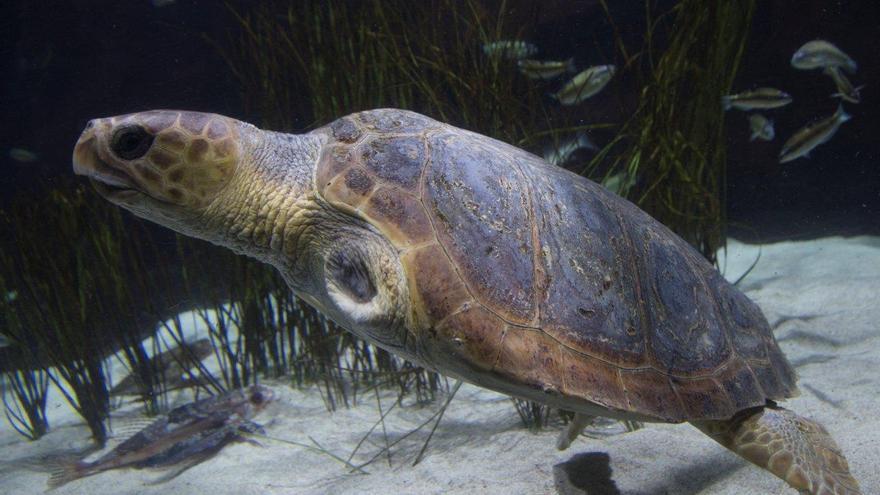 La tortuga sin aletas rescatada en Gran Canaria