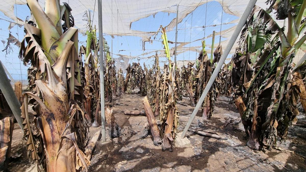 Plantación de plataneras  afectada por el incendio.