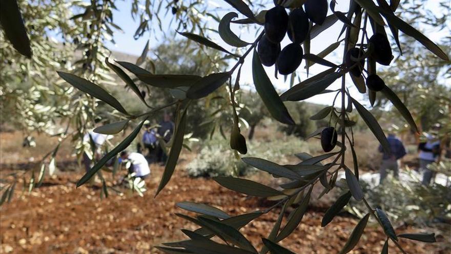 Palestinos denuncian que los colonos arrancaron 5.000 olivos en Cisjordania