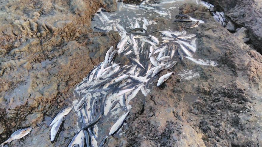 Ejemplares muertos en la playa de Tacorón.