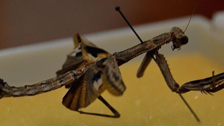 Encuentran en la laguna de 'Las Yeguas' de Alcázar una especie de mantis que podría ser única en el mundo