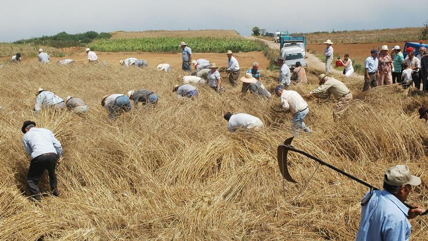 Siega del cereal en terrenos de las medianías de Icod el Alto, en una imagen de archivo