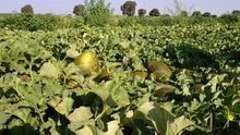 Comienza una campaña de melón con una producción similar a la del 2018 y precios bajos