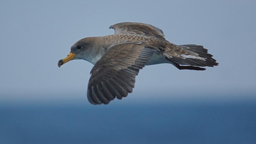 La pardela cenicienta fue elegida ave del año en 2013 por SEO/BirdLife. Foto: ©SEO/BirdLife - ©Juan Bécares
