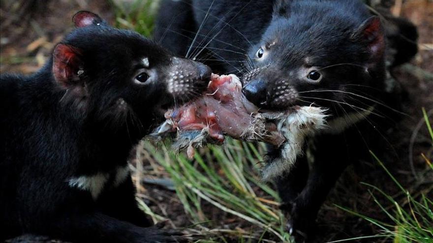 Los cambios climáticos diezmaron la población de los demonios de Tasmania