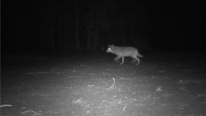 Imágenes nocturnas de la loba Naya de la Agencia de la Naturaleza y los Bosques de Bélgica (Agentschap Natuur & Bos).