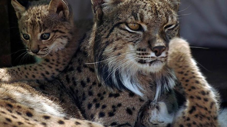 La Junta presenta a la UE el proyecto 'Lynx Connect' para recatalogar el lince de 'especie en peligro' a 'vulnerable'