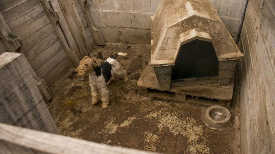 Perra de raza Fox Terrier en el criadero investigado,
