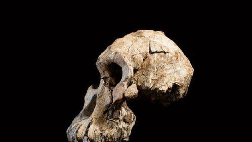 Cráneo de MRD.