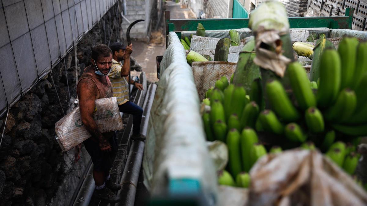 Trabajadores cubiertos de ceniza tras recoger plátano en la zona de la isla de La Palma afectada por la erupción del volcán. Kike Rincón/Europa Press