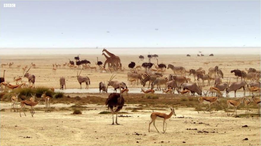 Decenas de animales beben agua de un manantial en medio de las llanuras de Etosha (Khalahari). Fotograma de la serie documental 'Africa' (BBC, 2013)