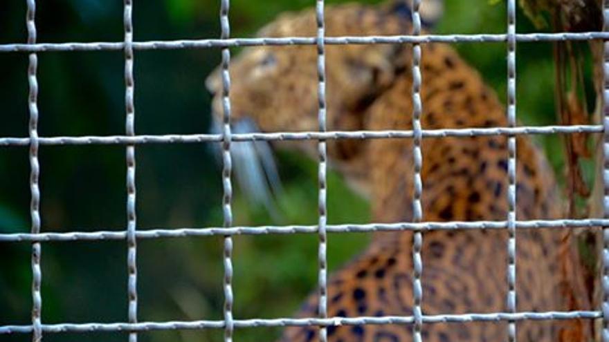 Jaguar en cautividad en el zoo de Barcelona. Como el de la mayoría de los individuos que viven allí, se desconoce su nombre.