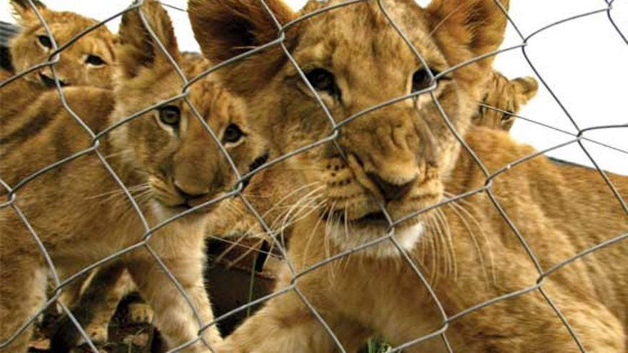 Cachorros criados en granjas de caza enlatada. Foto: www.udare.es