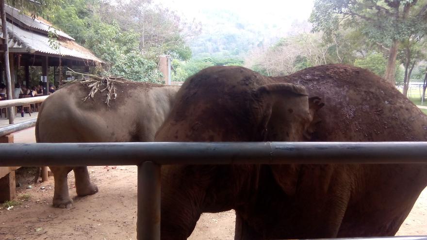 Unas elefantas que se han pasado poniéndose  protector solar. Foto: Sara Hernández Cofiño.