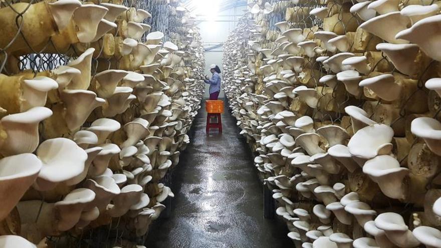 Una mujer trabaja entre las setas de ostras rey en una granja.