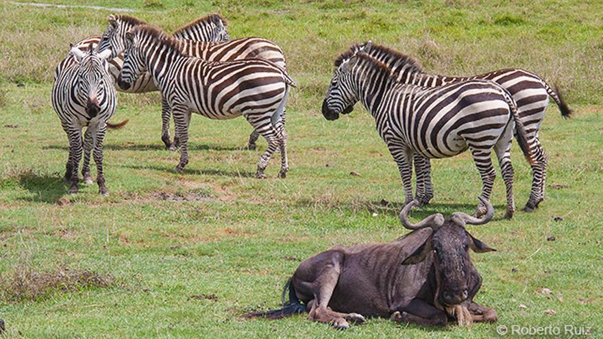 Ngorongoro, Tanzania, zebras y ñu