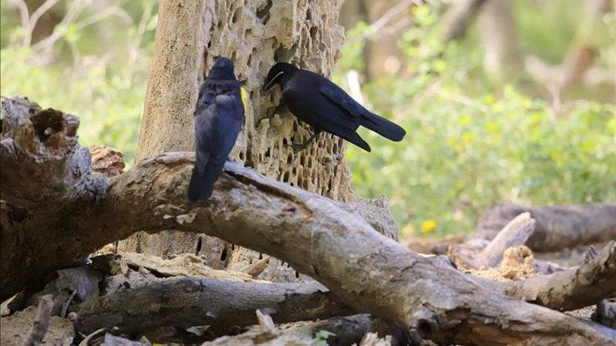 Los cuervos modifican sus relaciones sociales para transmitir conocimiento