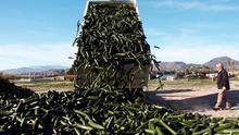 Destruyen en Granada más de cien mil kilos de pepinos por los bajos precios