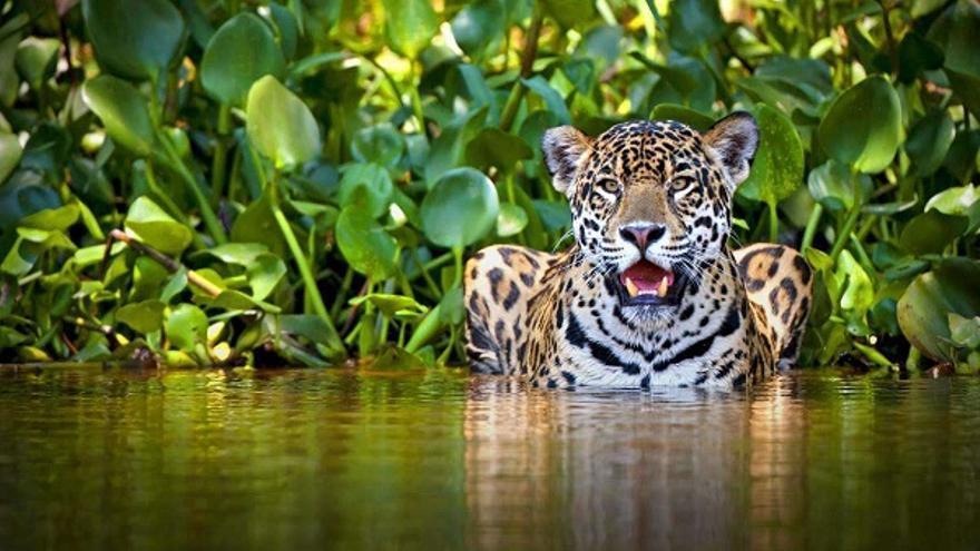 Jaguar en la selva latinoamericana.