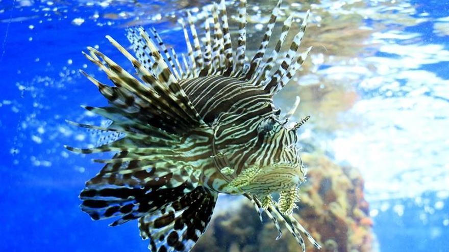 Logran eliminar miles de ejemplares del pez león en las aguas de Florida, EE.UU.