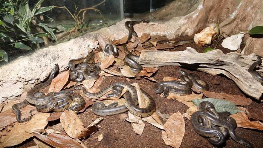 Nacen 38 anacondas en el CosmoCaixa de Barcelona