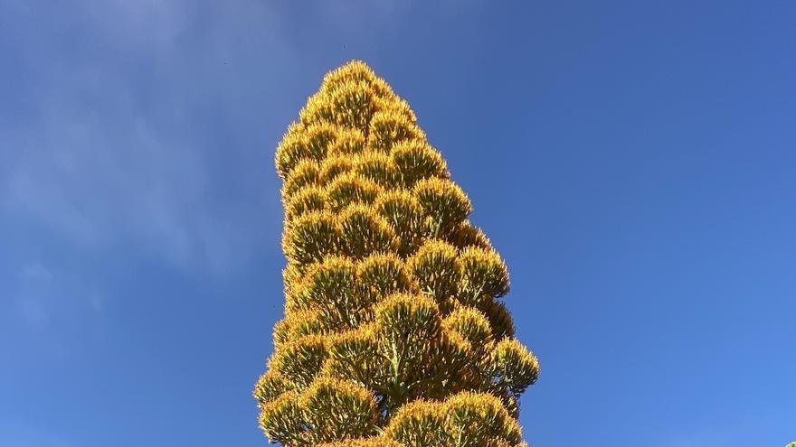 Agave gigante caribeño florecido en el Jardín Botánico de Puerto de la Cruz.
