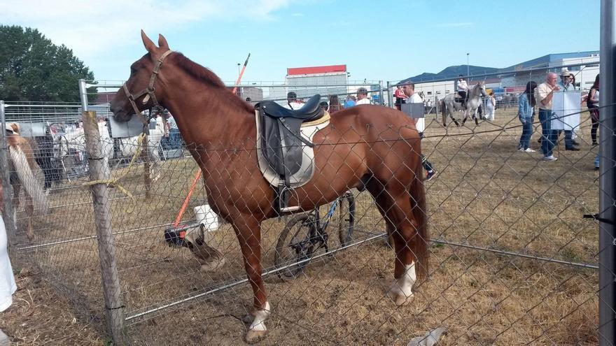 653 cabezas de ganado equino están a la venta en la feria que se celebra en el polígono de Agustinos